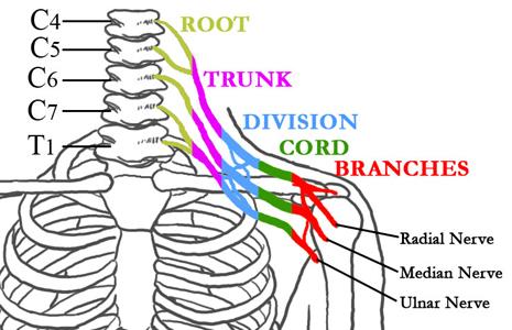 About Brachial Plexus and Traumatic Nerve Injury
