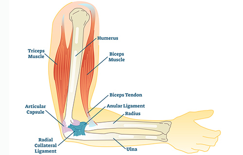 Illustration of elbow anatomy with bones and soft tissues labeled.