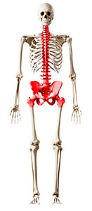 Image: Graphic of skeleton with the spine, pelvis and hips highlighted.