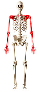 Image: Graphic of skeleton with upper extremities highlighted.