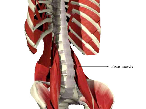 3D image of the spine including the psoas muscle.