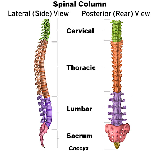 Illustration of spinal column, lateral (side) view and posterior (rear) view, showing the cervical, thoracic and lumbar sections, along with the sacrum and cocyx.