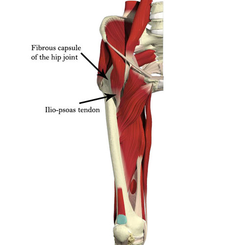 illustration showing the hip capsule and important muscles around the hip
