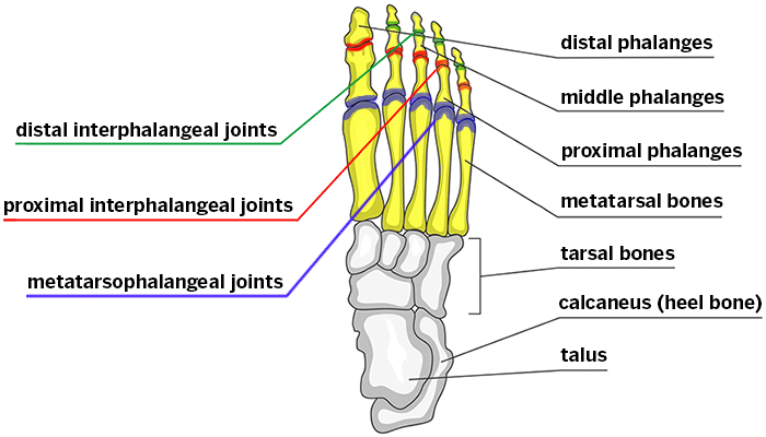 Skeletal structures of the forefoot