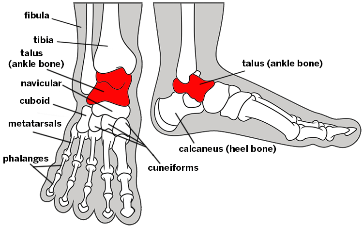 Illustration of the foot and ankle bones, labeled.