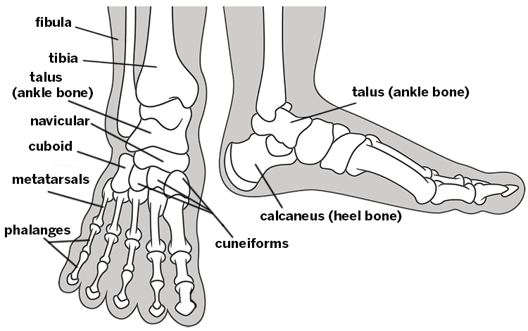 metatarsal labeling diagram