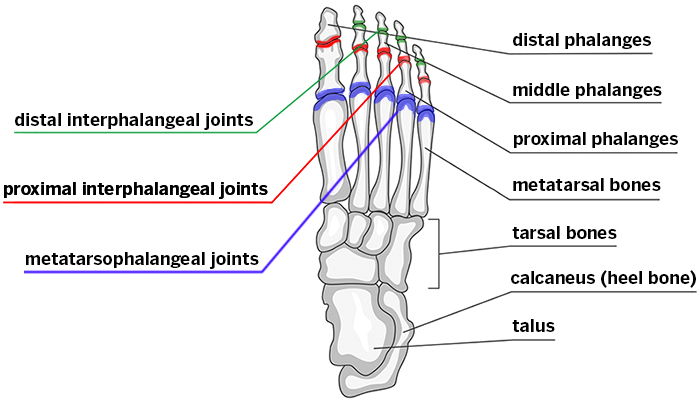 Toes Of Foot Bones Diagram Block And Schematic Diagrams